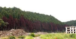 2011.08:陸前高田の沿岸部の林(赤茶けたところまで海水に浸かったと思われる