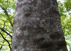 熊の木登り痕