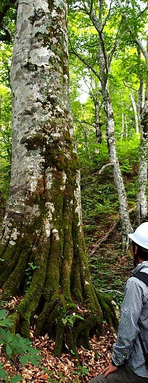 苔むした高樹齢ブナの根に目を奪われる