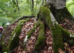 巨岩を鷲づかみするブナ